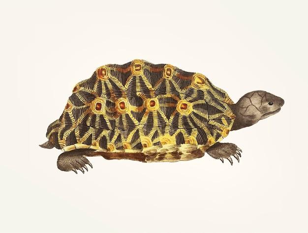 Main dessinée de tortue rayonnée Vecteur gratuit