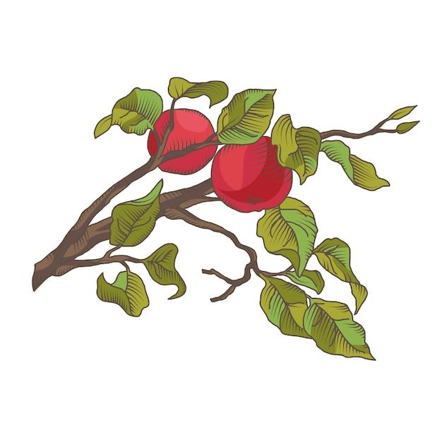 Main dessiner une branche de pomme avec des fruits. illustration isolée sur le blanc Vecteur gratuit
