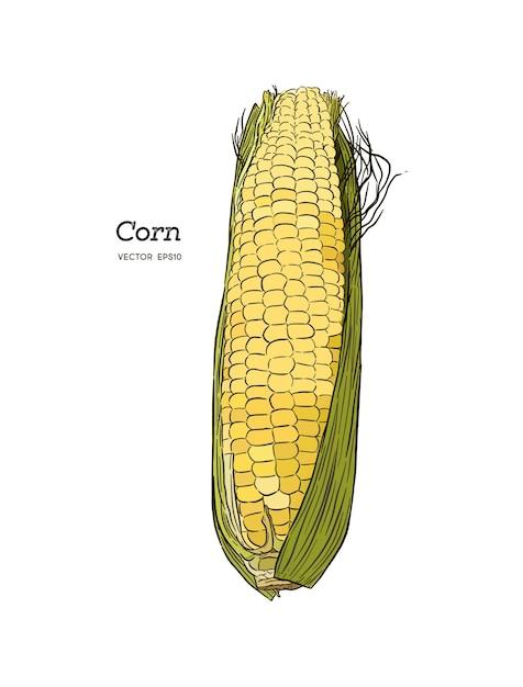 Maïs sur l'épi vintage illustration gravée. Vecteur Premium