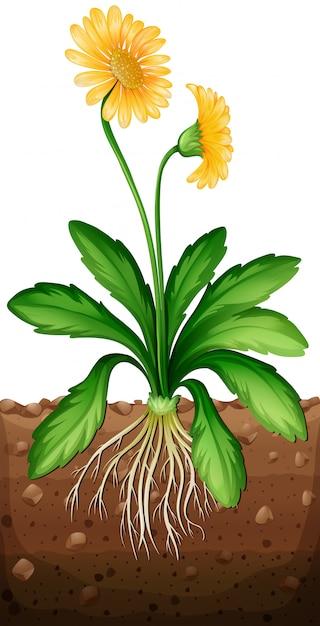 Marguerite jaune plante dans le sol Vecteur gratuit