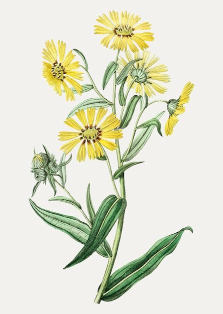 Marguerite jaune Vecteur gratuit