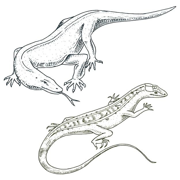 Moniteur Dragon De Komodo, Lézard Sable Américain, Reptiles Exotiques Ou Serpents En Europe. Animaux Sauvages Lacertiens Dans La Nature. Vecteur Premium