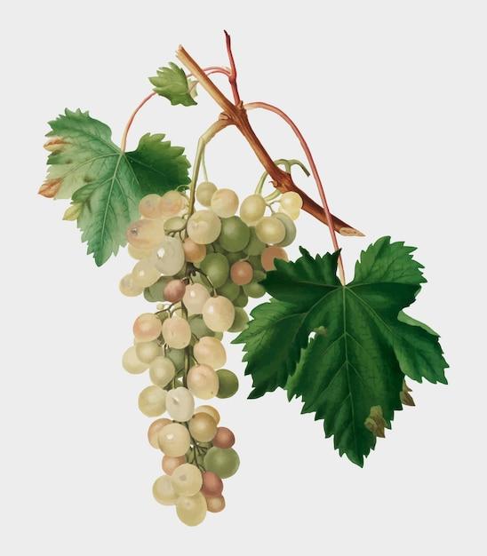 Muscat, raisin, illustration, pomona, italiana Vecteur gratuit