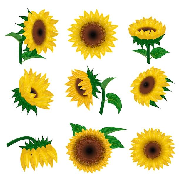 Nature de fleur de vecteur été jaune tournesol, fleur et illustration de plante fleur floral Vecteur Premium