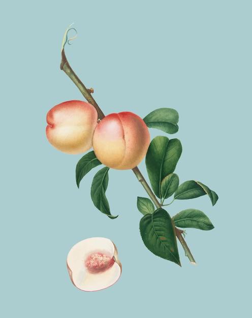 Noix blanche de pomona italiana illustration Vecteur gratuit