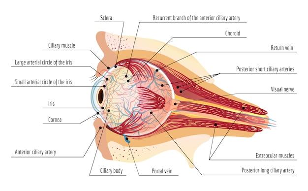 Oeil humain balle infographique, style cartoon Vecteur Premium