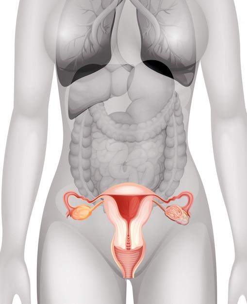 Les organes génitaux féminins dans le corps humain Vecteur Premium