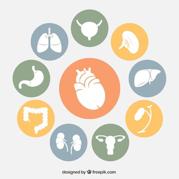 Organes Humains Icônes Vecteur gratuit