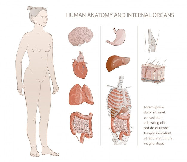 Organes humains internes Vecteur Premium