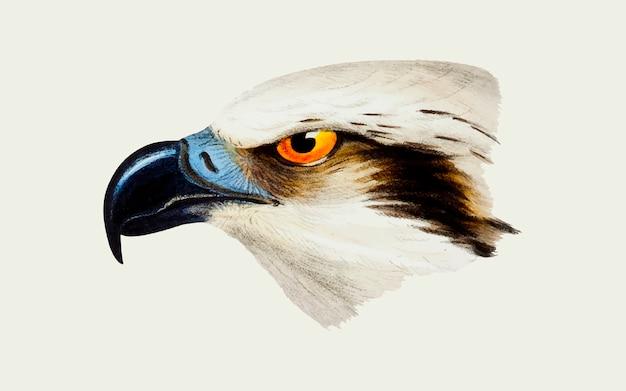 Osprey à tête blanche Vecteur gratuit