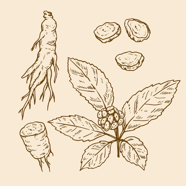 Pack De Plantes De Ginseng Dessinés à La Main Réaliste Vecteur gratuit
