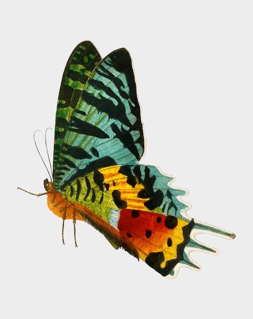 Papillon Vecteur gratuit