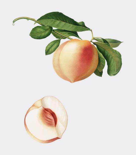 Pêche de pomona italiana illustration Vecteur gratuit