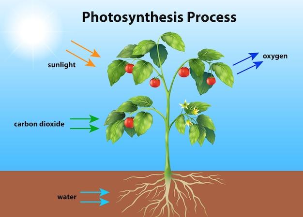 Photosynthèse Vecteur gratuit