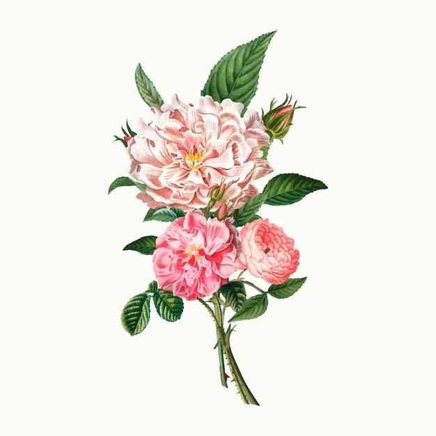 Pivoines Roses Vecteur gratuit