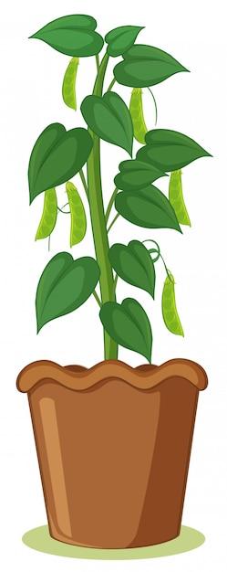 Un Plant De Haricot En Pot Vecteur gratuit