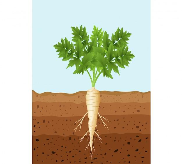 Plante De Panais Avec Des Racines Vecteur Premium