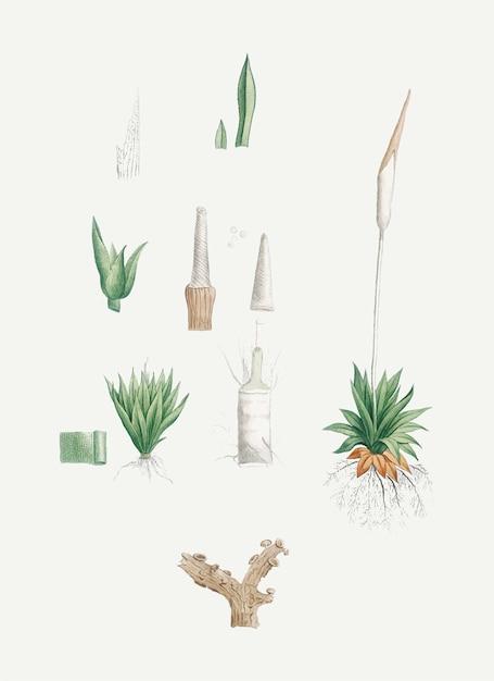 Plantes disséquées Vecteur gratuit