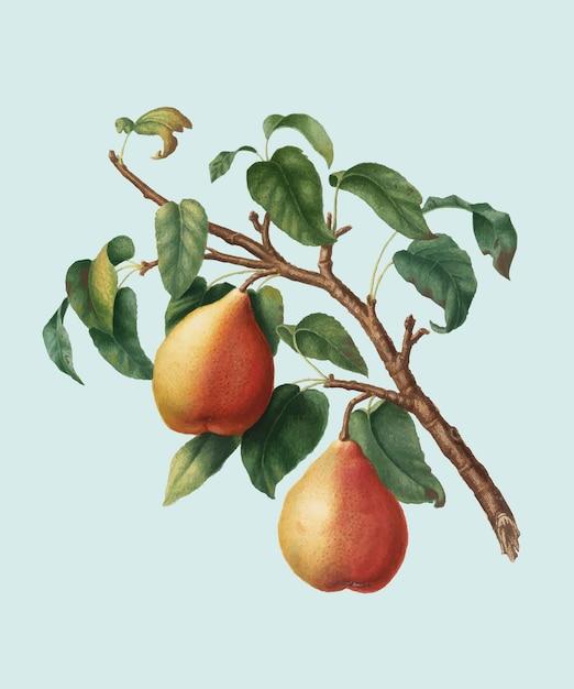 Poire sauvage européenne de pomona italiana illustration Vecteur gratuit