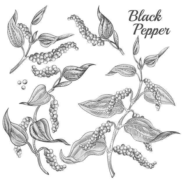 Poivre noir avec feuilles et grains de poivre isolés sur fond. Vecteur gratuit