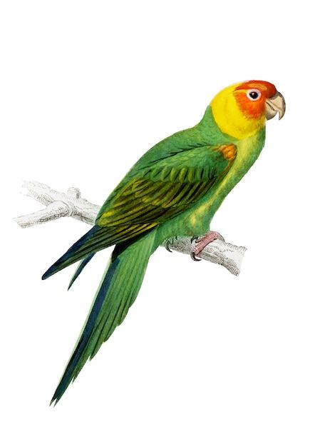Psittacus eximius illustré Vecteur gratuit