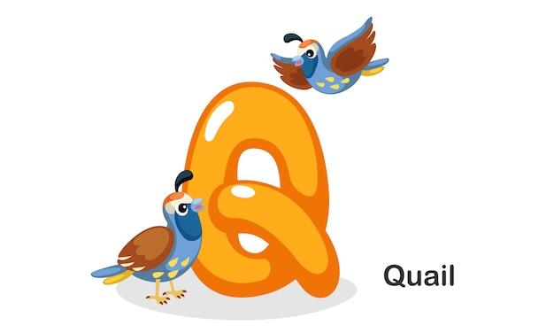 Q pour la caille Vecteur Premium