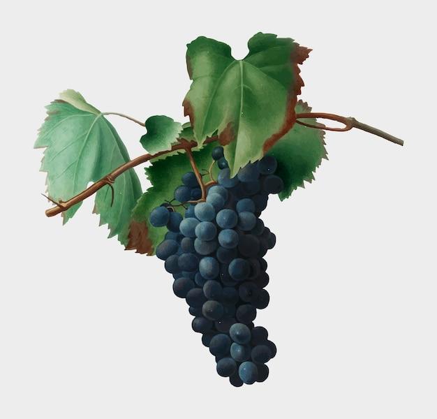 Raisin, vigne, illustration, pomona, italiana Vecteur gratuit