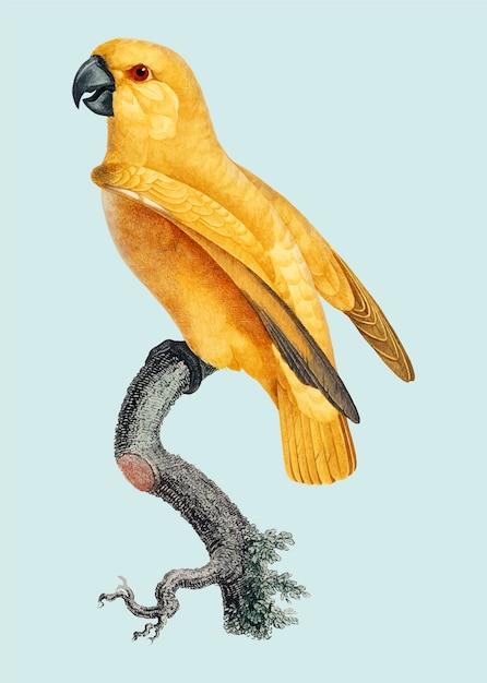 Rare perroquet senegal jaune Vecteur gratuit