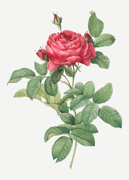 Rose gallique rouge Vecteur gratuit