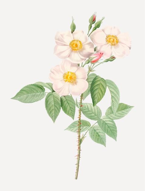 Roses damassées en fleurs Vecteur gratuit