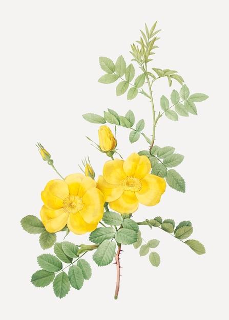 Roses jaunes sweetbriar Vecteur gratuit