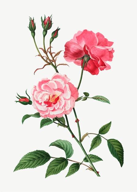 Roses roses Vecteur gratuit
