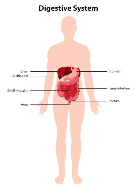 Schéma Du Système Digestif Humain Vecteur gratuit