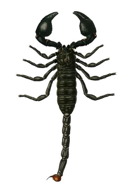 Le Scorpion Empereur (buthus Afer) Illustré Vecteur gratuit