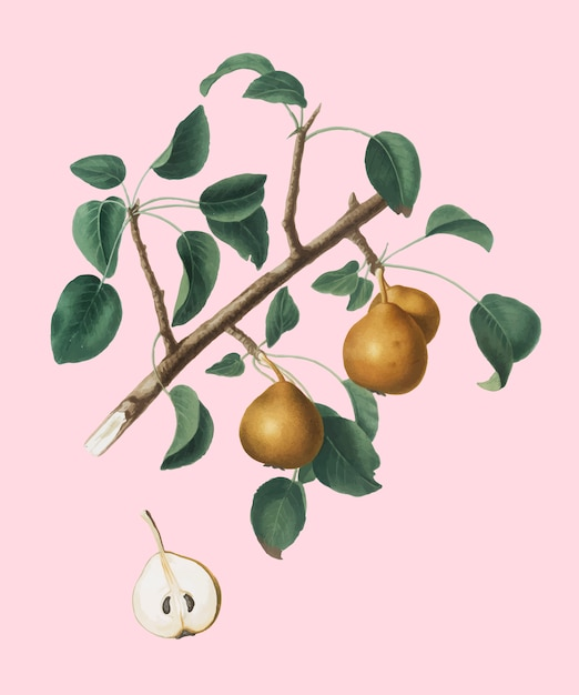 Seckel, poire, illustration, pomona, italiana Vecteur gratuit