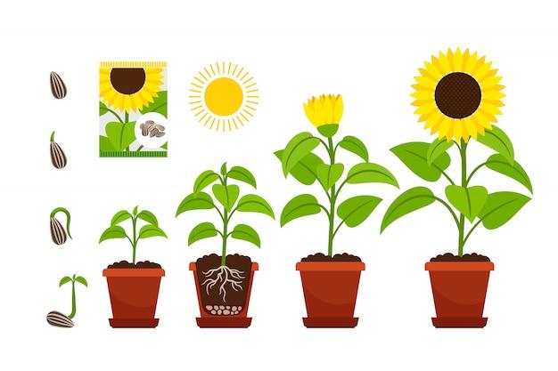 Semis de tournesols à fleurs jaunes en pot isolé on white Vecteur Premium
