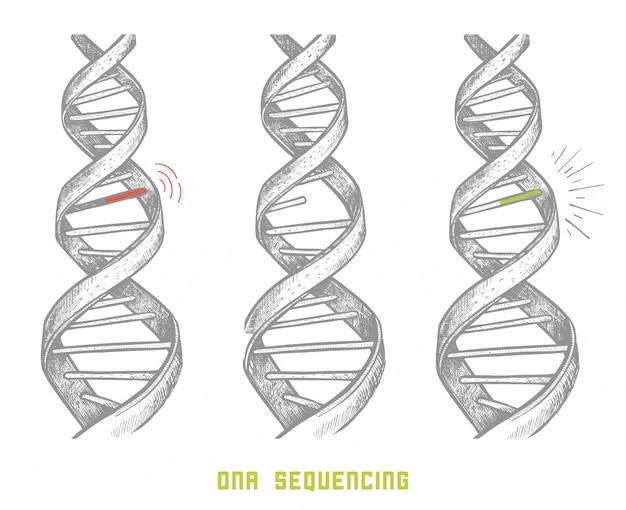 Séquençage du génome. séquençage adn. adn dessiné à la main. concept Vecteur Premium