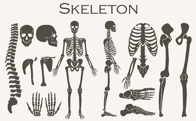 Squelette d'os humains Vecteur Premium