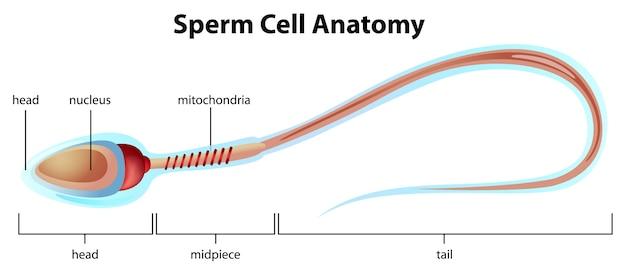 Structure de spermatozoïdes Vecteur gratuit