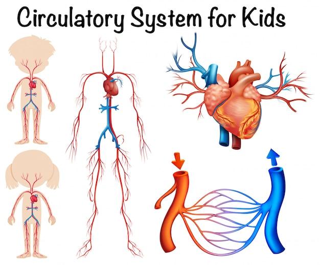 Système circulatoire du sang