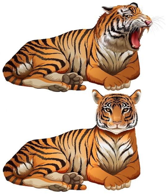 Tigres sauvages sur fond blanc Vecteur Premium