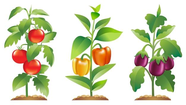 Tomate poivron et aubergines Vecteur Premium