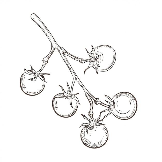 Tomates Cerises Sur Une Branche Dessin Vintage Vecteur Premium