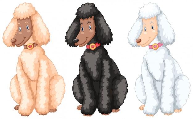 Trois chiens de caniche avec différentes couleurs de fourrure Vecteur Premium