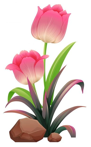 Tulipes roses Vecteur Premium