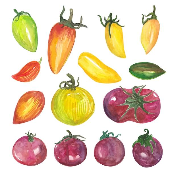 Variations de tomates à l'aquarelle et d'ingrédients de légumes chili dans la cuisine Vecteur Premium
