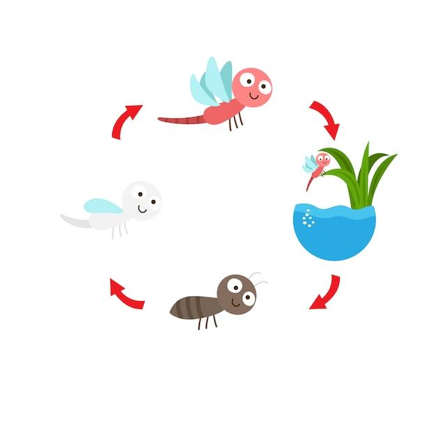 Vecteur de cycle de vie illustration libellule Vecteur Premium