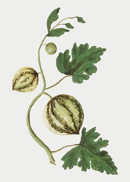 Vecteur d'illustration vintage pastèque fraîche Vecteur gratuit