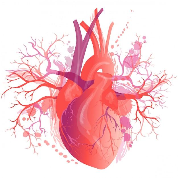 Vecteur réaliste coeur humain Vecteur Premium