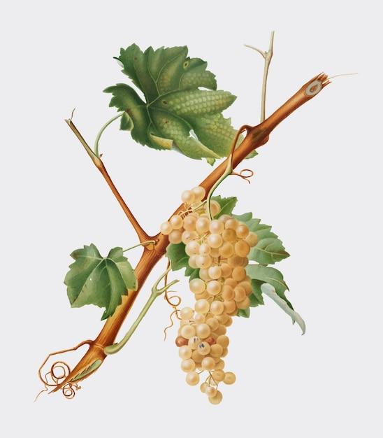 Vermentino, raisins, illustration, pomona, italiana Vecteur gratuit